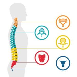 illustration de vertebre